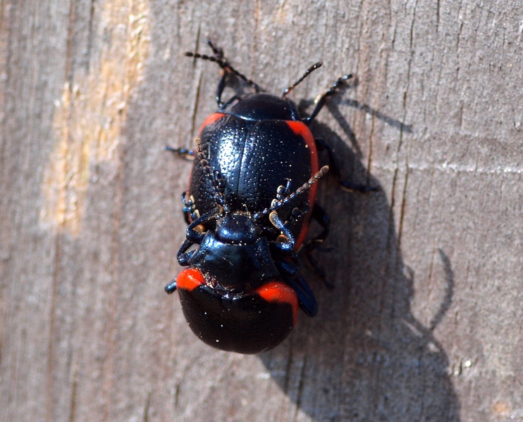 Chrysomelidae: Chrysolina rossia (Illiger, 1802) - copula