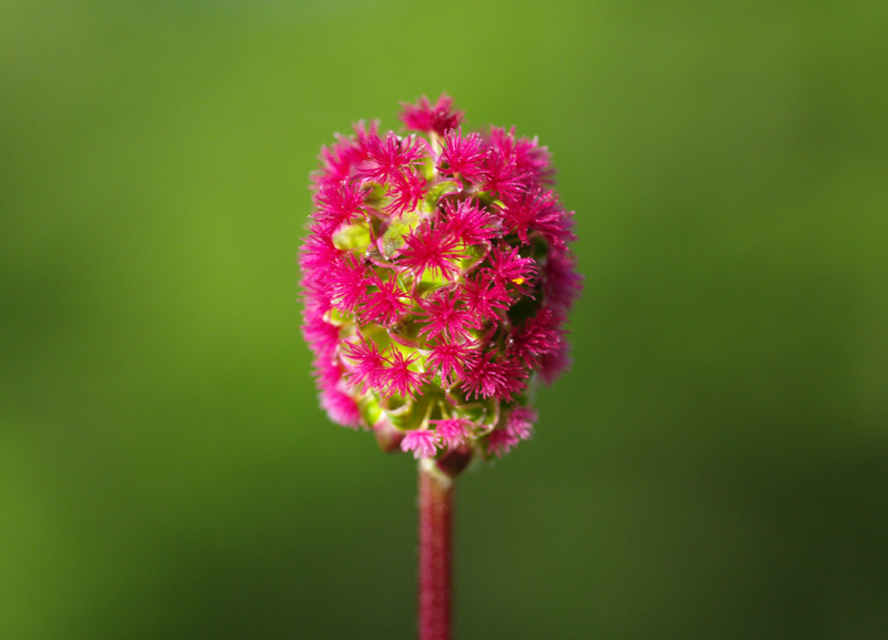 Sanguisorba_minor_3.jpg