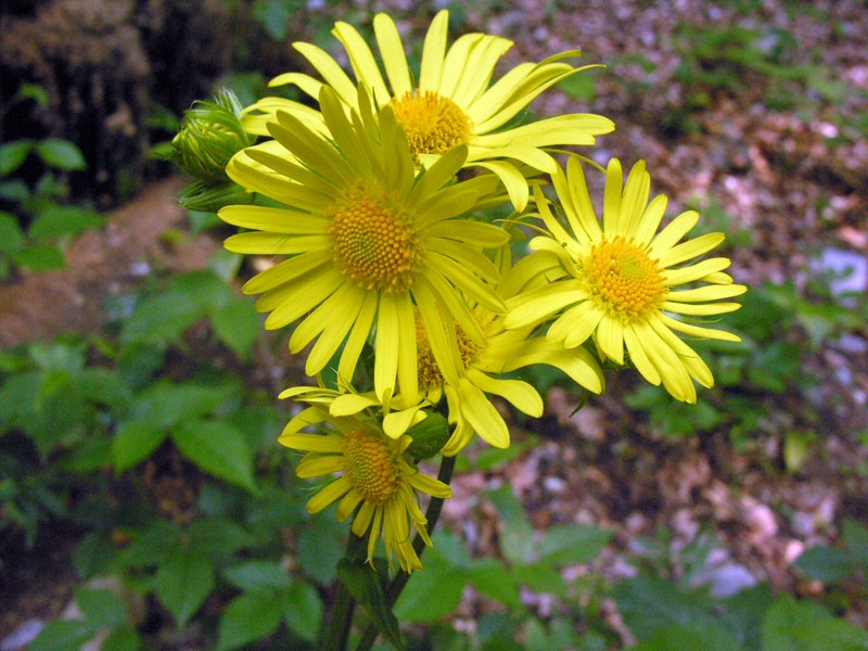 doronicum pardalianches1_marinella.jpg
