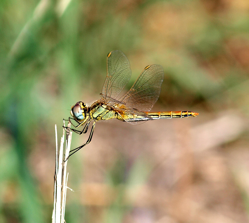 Libellulidae: Sympetrum fonscolombii (Selys, 1840)
