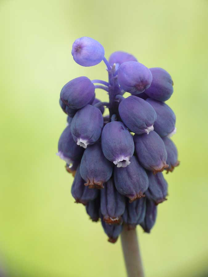 Muscari_neglectum_9912_45810.jpg