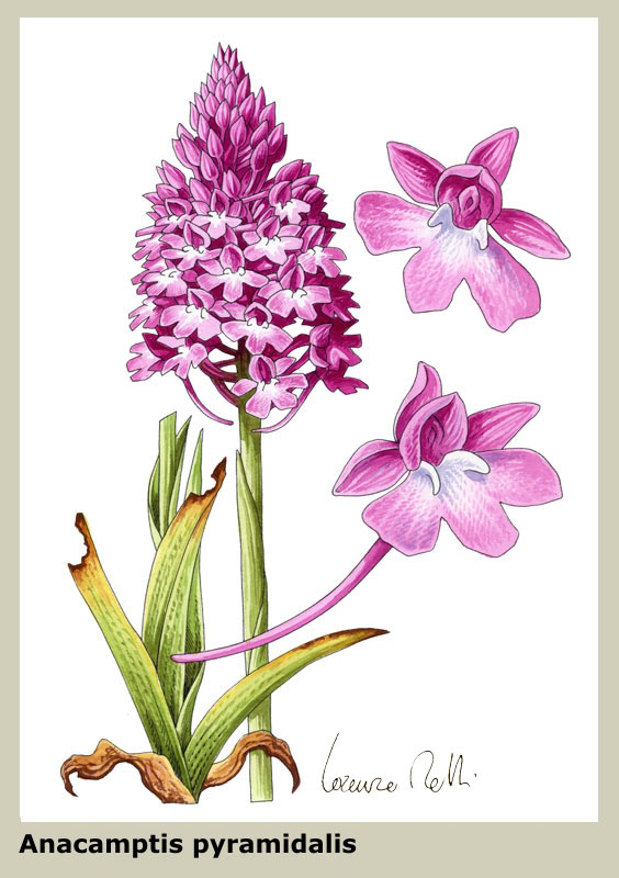 Acquerelli: orchidee