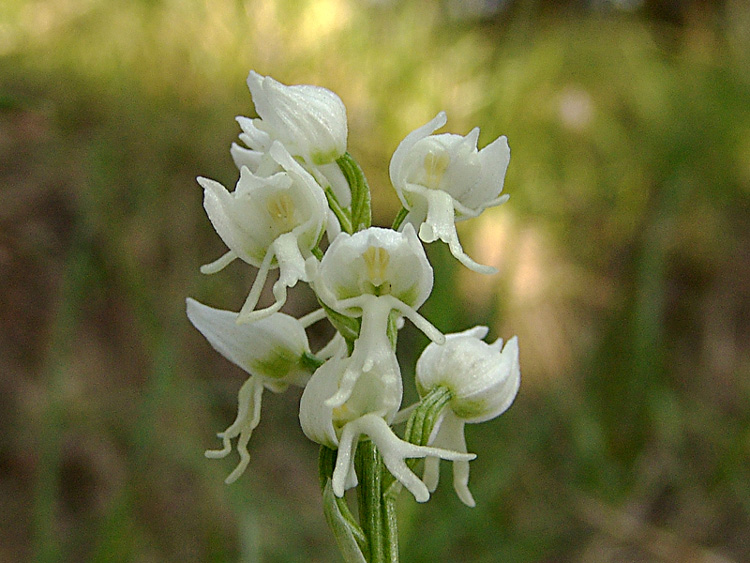 Orchis_simia_65ad5554.jpg