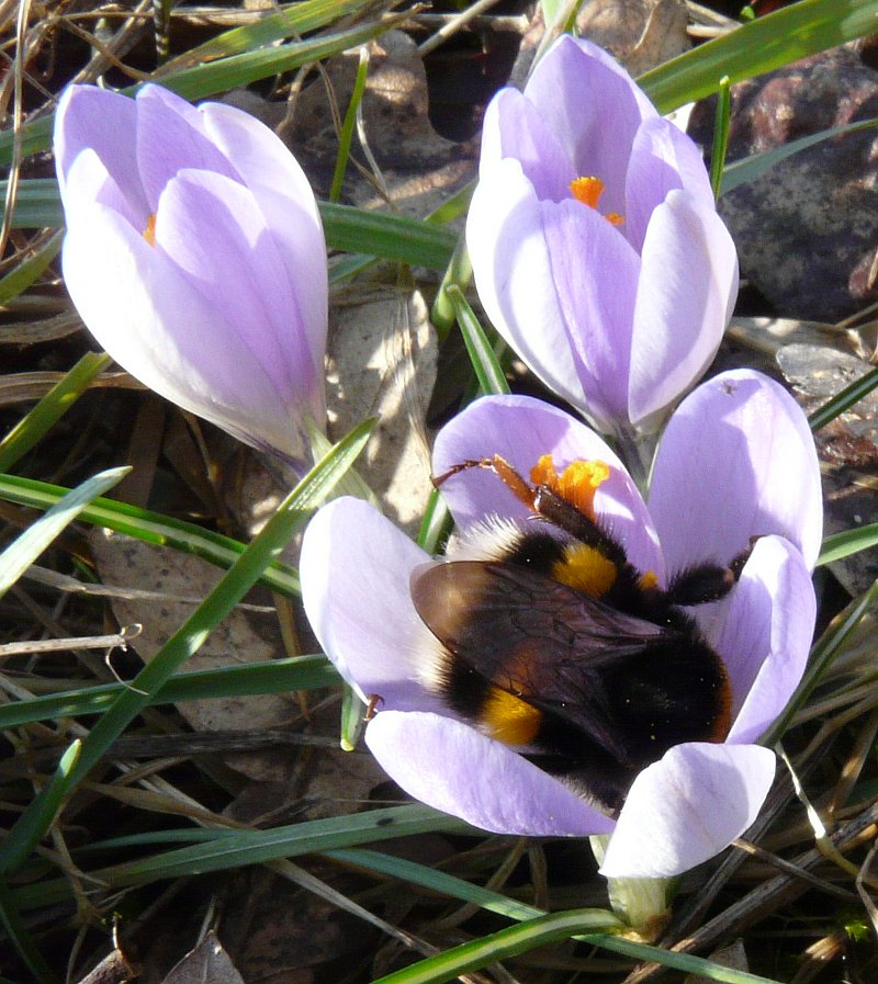 Apidae: Bombus sp. - da un Crocus all'altro