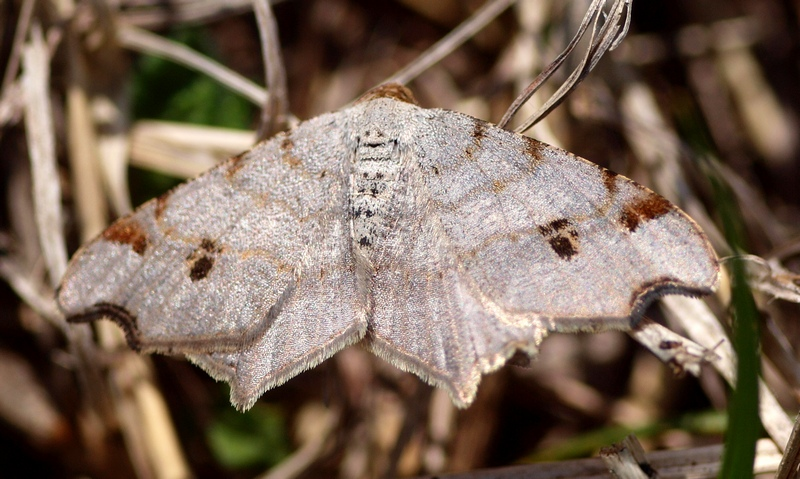 Geometridae: Macaria alternata ([Denis & Schifferm�ller], 1775)