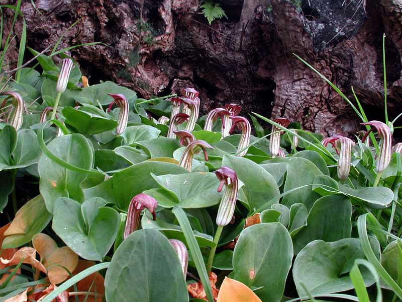 Arisarum vulgare7814.jpg