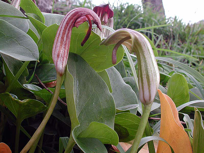 Arisarum vulgare7815.jpg