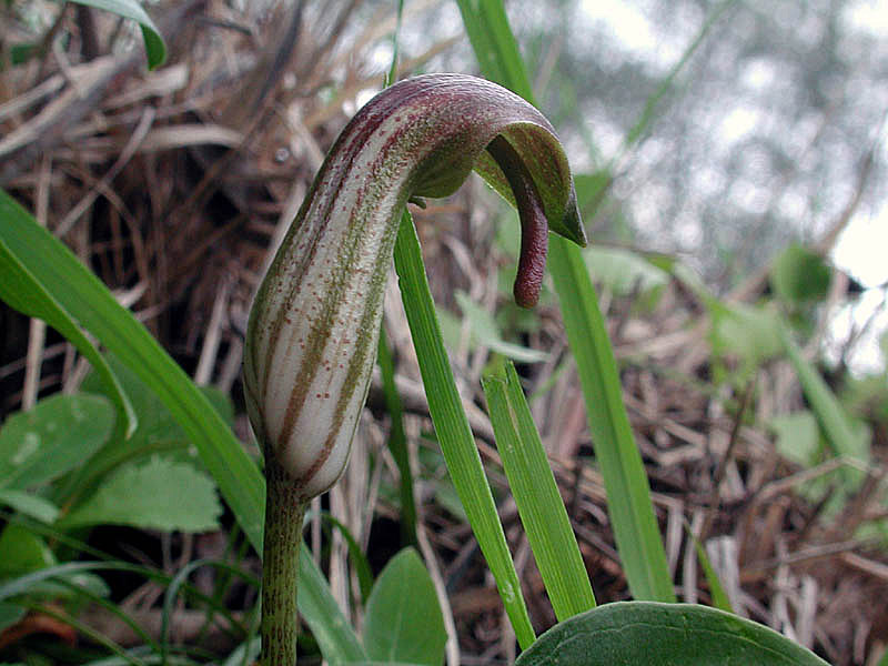 Arisarum vulgare7812.jpg