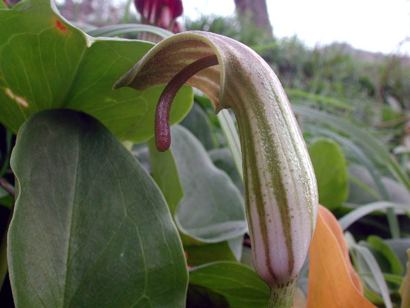 Arisarum vulgare7810.jpg
