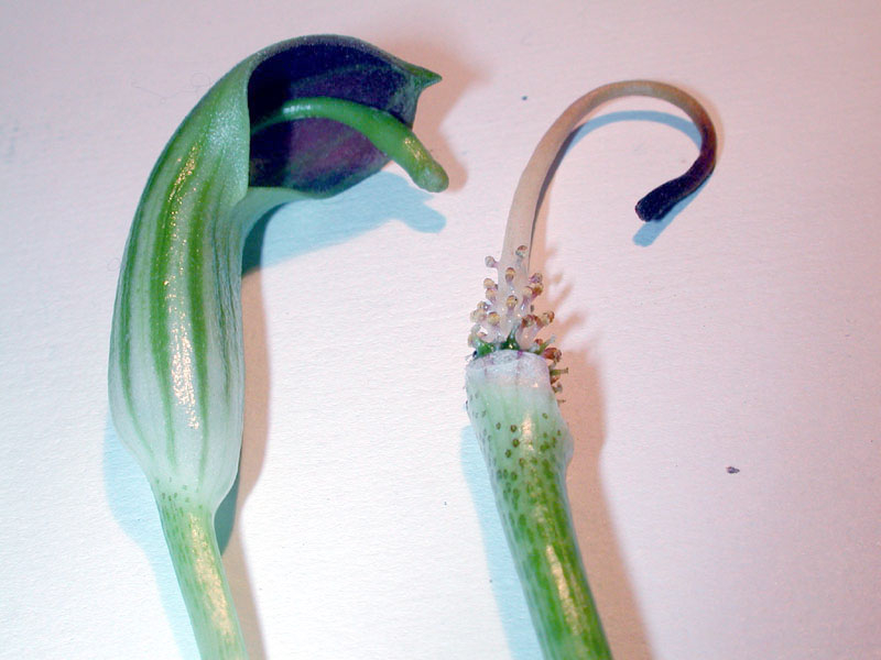 Arisarum fiori7899.jpg