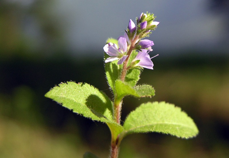 Veronica officinalis 3.JPG