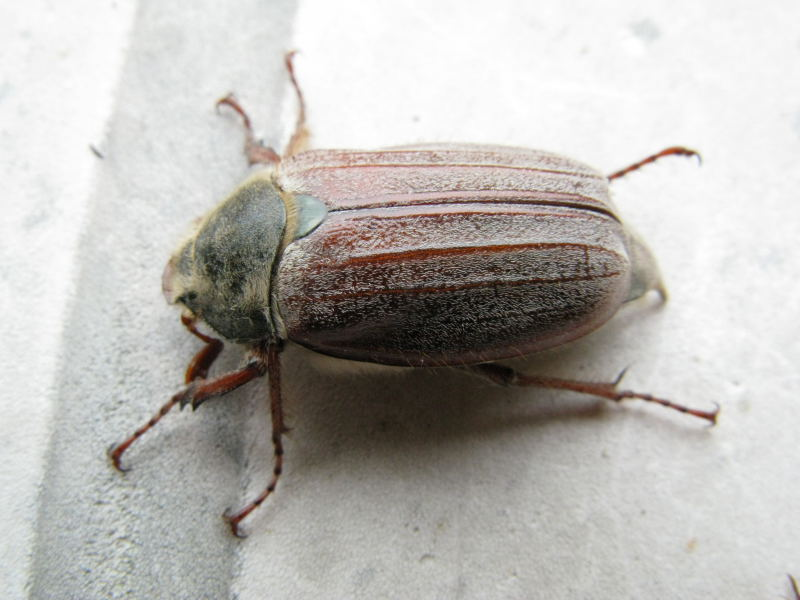Melolonthidae: Melolontha melolontha (Linnaeus, 1758) - maggiolino