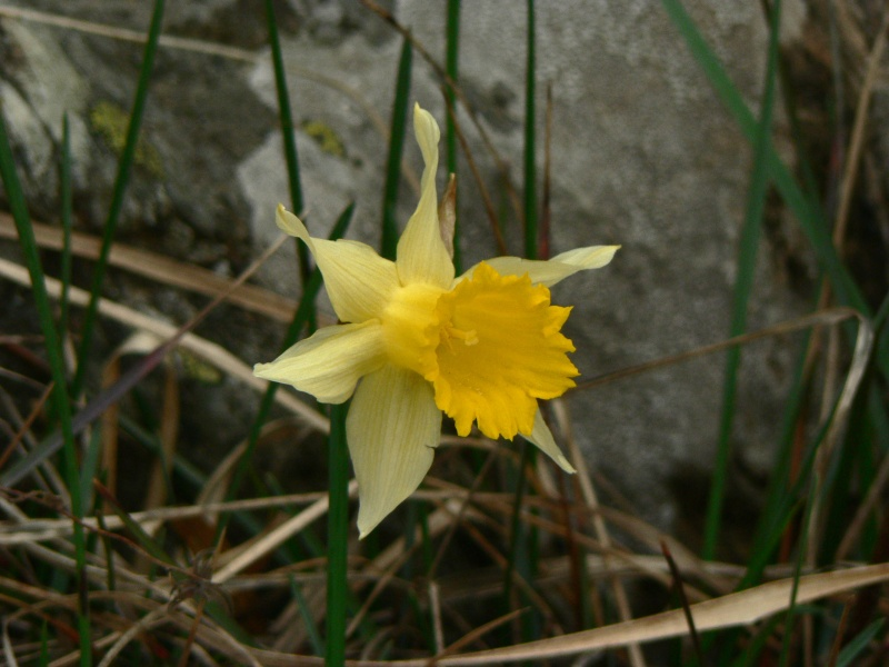 Narcissus_pseudonarcissus_782.jpg