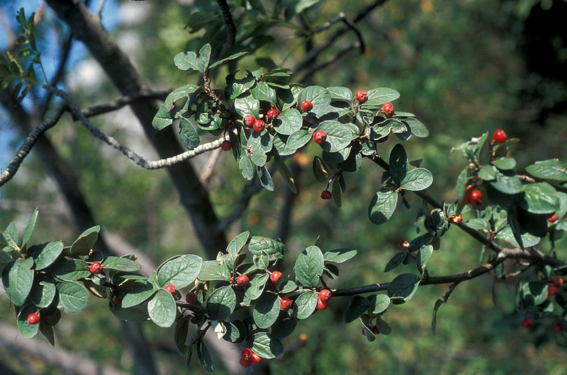 Cotoneaster_tomentosus_3.jpg