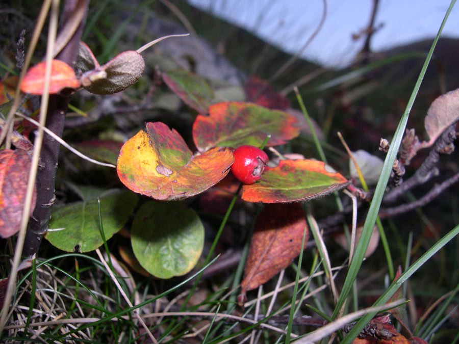 Cotoneaster_tomentosus_5.jpg