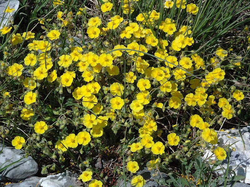 Helianthemum oelandicum  (L.)Dum. Cours..jpg