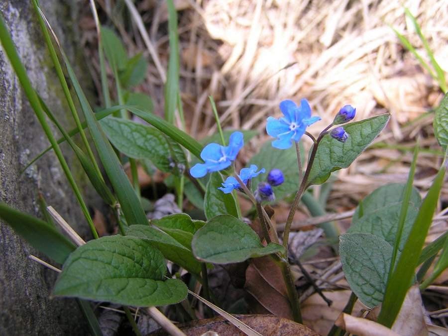 Omphalodes verna Moench