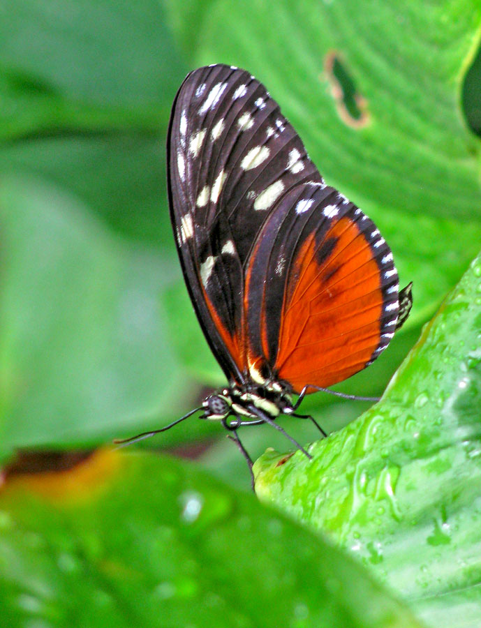 Nymphalidae: Heliconius hecale zuleika (Hewitson, 1854)