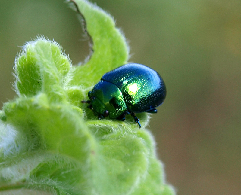 Chrysomelidae: Chrysolina (Synerga) herbacea (Duftschmid, 1825)