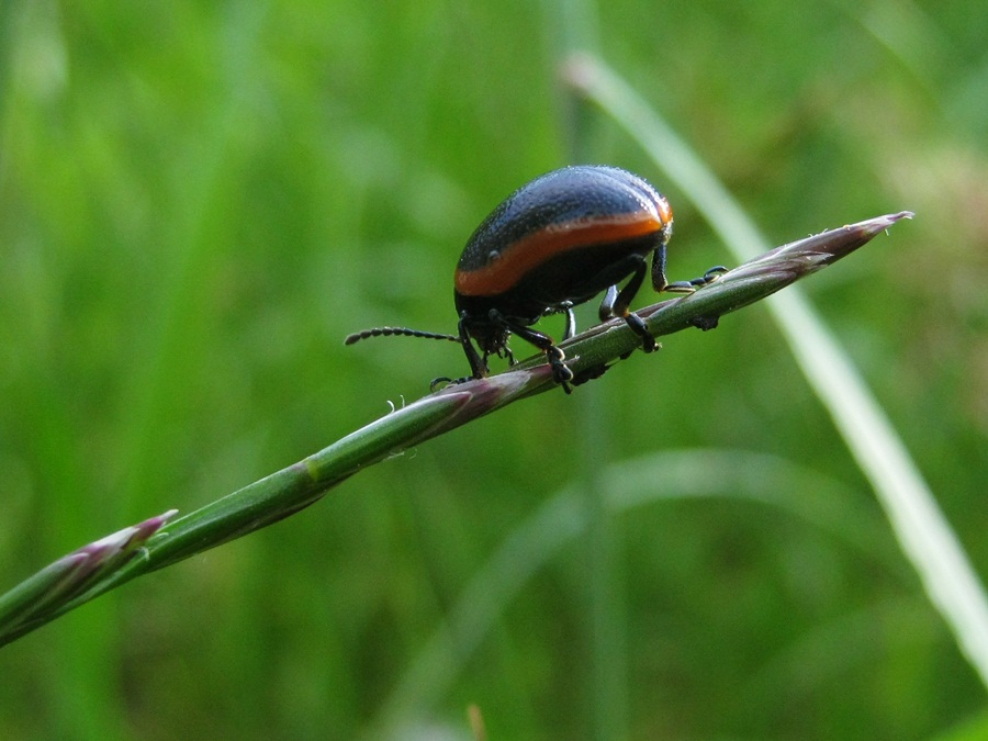 Chrysomelidae: Chrysolina (Stichoptera) rossia (Illiger, 1802)