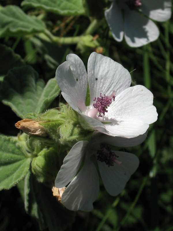 althaea-officinalis-2.jpg