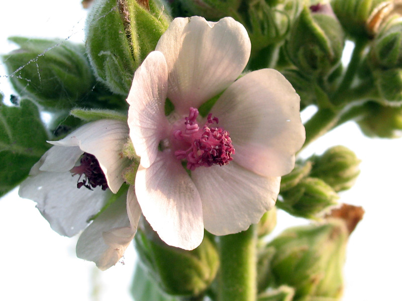 althaea-officinalis-3.jpg