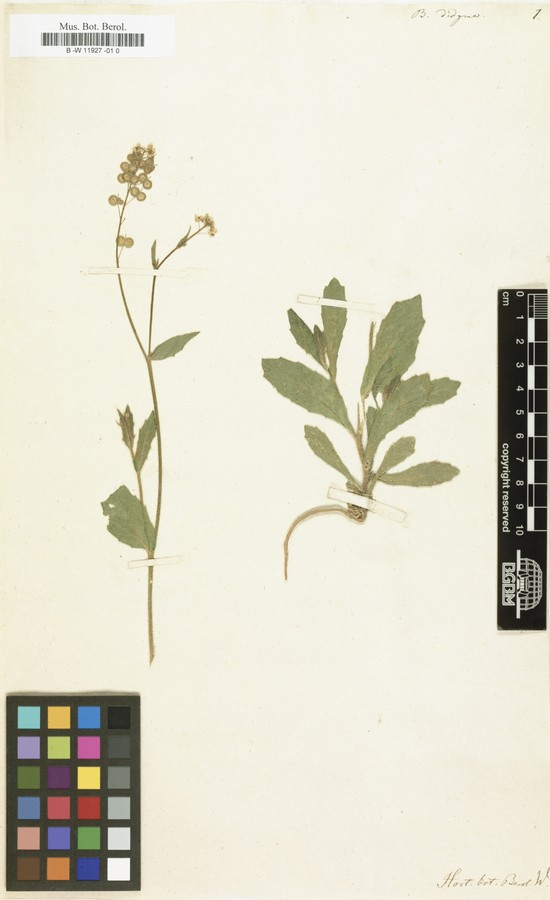 Röpert, D. (Ed.) 2000- (continuously updated) Digital specimen images at the Herbarium Berolinense. - Published on the Internet httpww2.bgbm.orgherbarium (Barcode 0  ImageId 364586) [accessed 31-May-12]..jpg