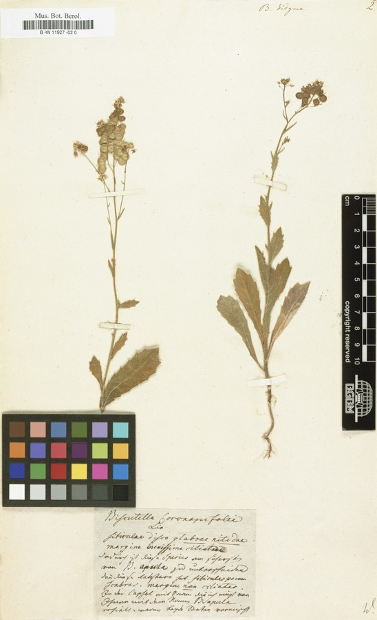 Röpert, D. (Ed.) 2000- (continuously updated) Digital specimen images at the Herbarium Berolinense. - Published on the Internet httpww2.bgbm.orgherbarium (Barcode 0  ImageId 364594) [accessed 31-May-12]..jpg