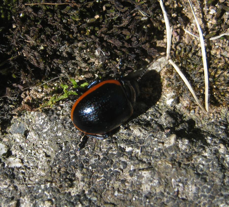 Coleoptera-Chrysomelidae: Chrysolina (Stichoptera) rossia (Illiger, 1802)