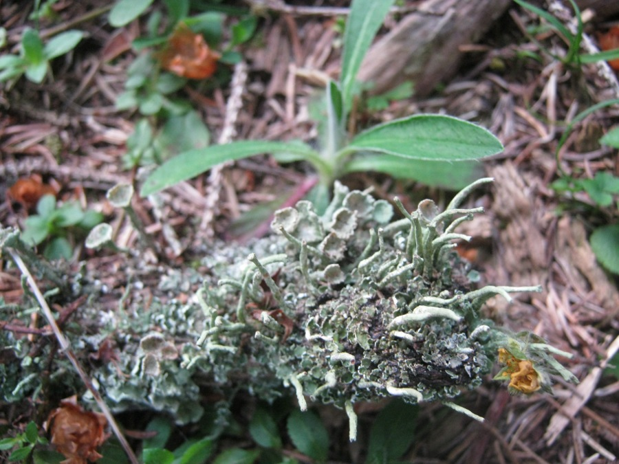 Cladonia fimbriata (L.) Fries + Cladonia sp.