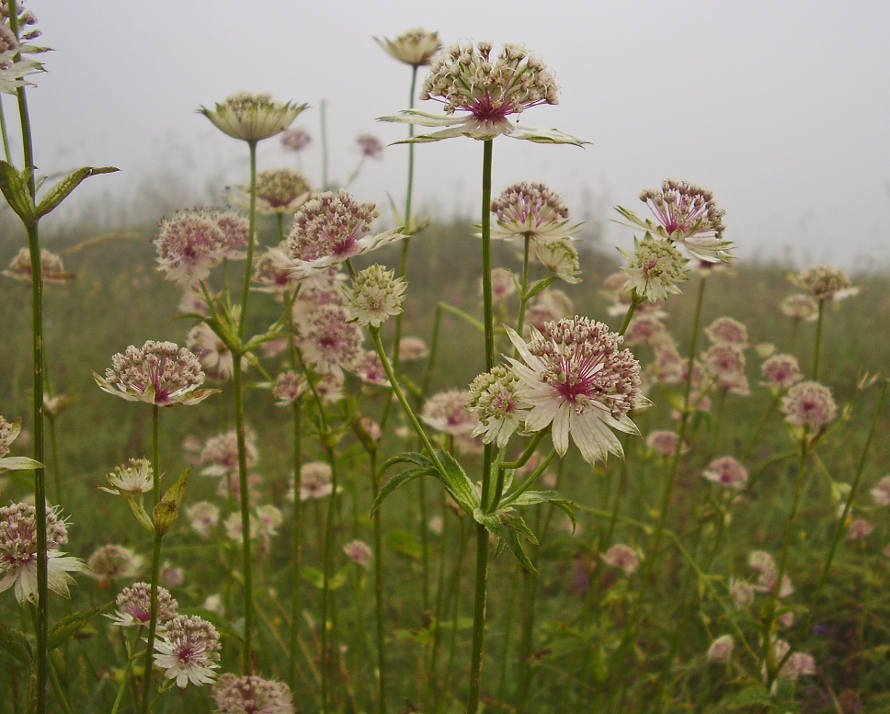 Astrantia_major_1.jpg