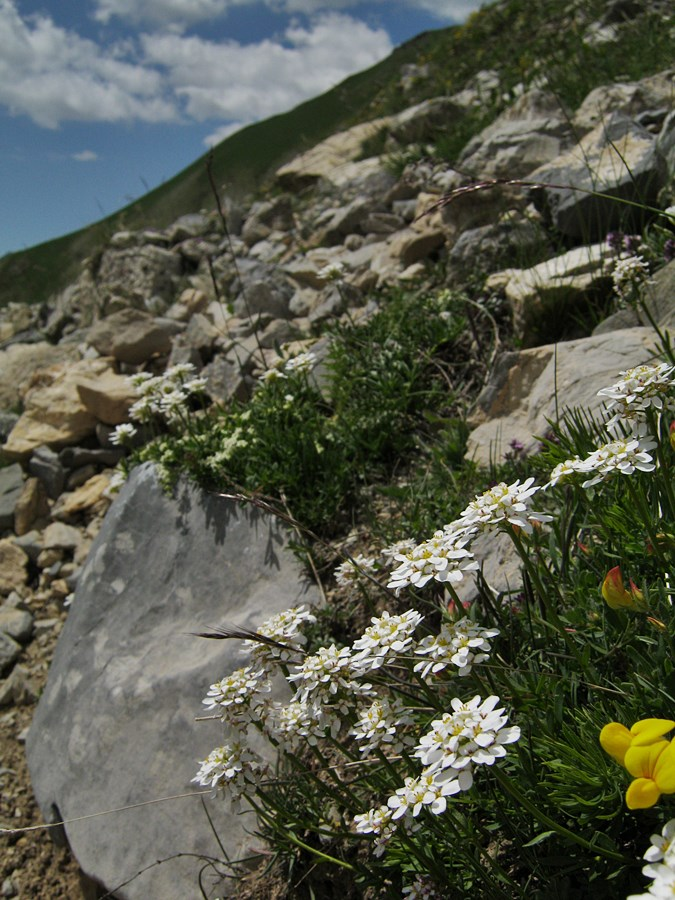 Iberis_sempervirens_050713_VallOrrenaye_2250_has.JPG