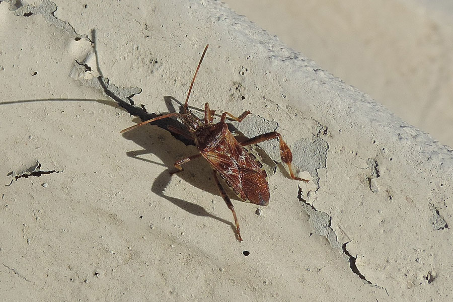 Coreidae: Leptoglossus occidentalis Heidemann, 1910