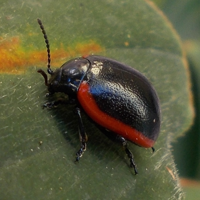 Chrysomelidae: Chrysolina rossia (Illiger, 1802)