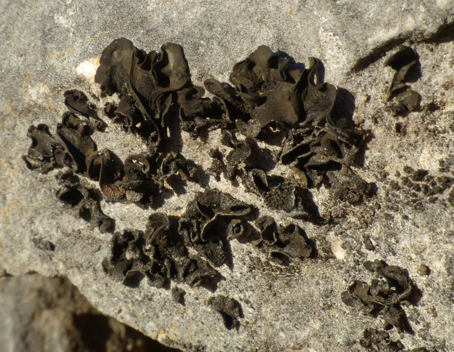 Collema fuscovirens (With.) J.R.Laundon