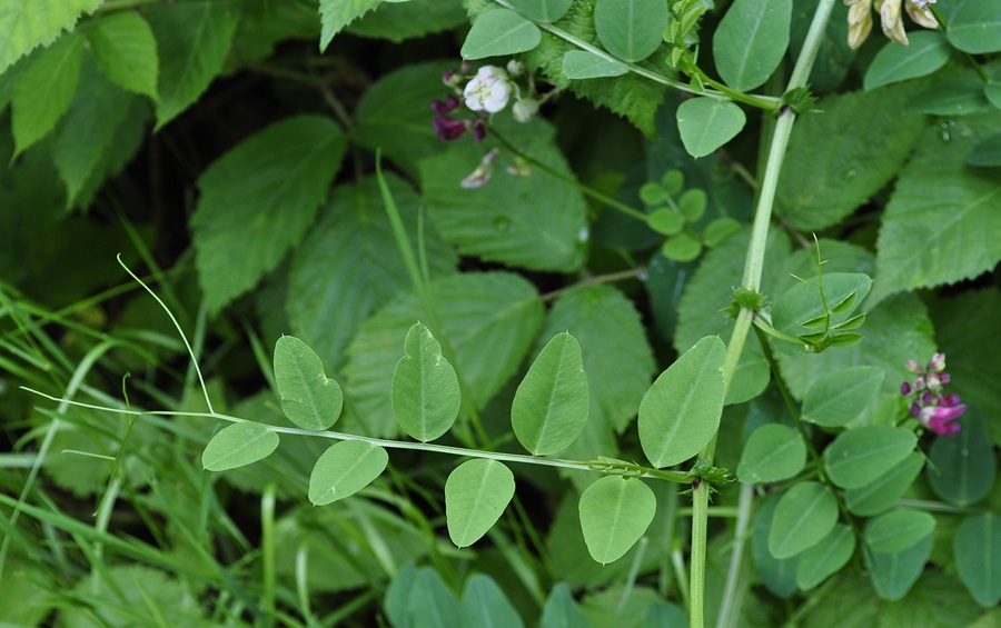 Vicia_dumetorum_34128_160800.jpg