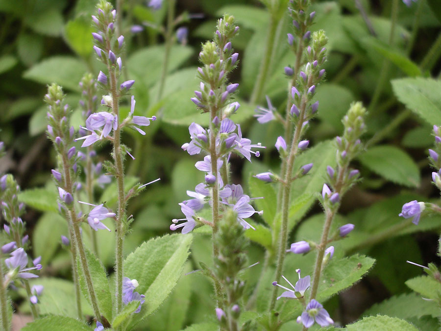Veronica_officinalis_37602_174445.jpg