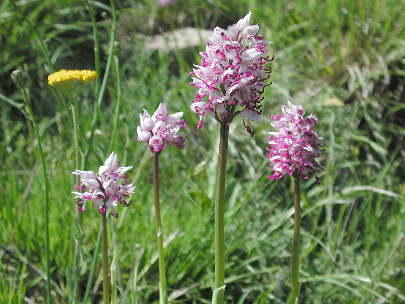 Orchis-simiaN3213.jpg