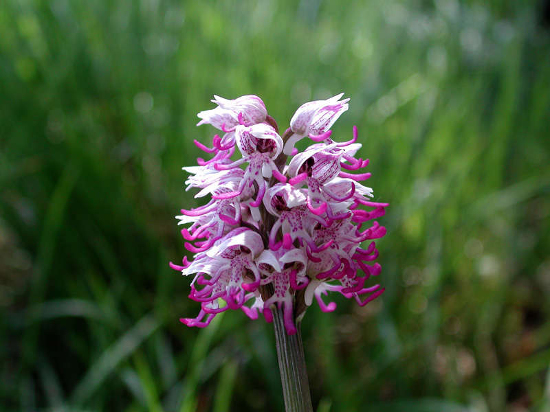 Orchis-simia3223.jpg