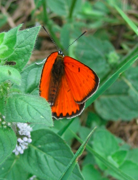 Lycaenidae: Lycaena dispar (Haworth, 1803)