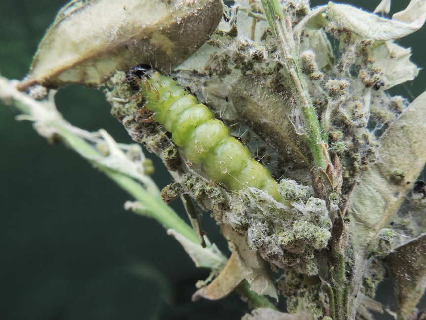 Cydalima_perspectalis_larva_in_bozzolo.jpg