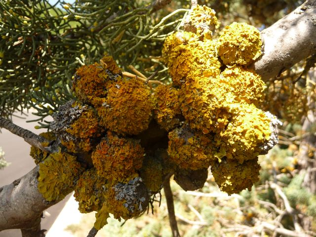 Xanthoria parietina (L.) Th.Fr.