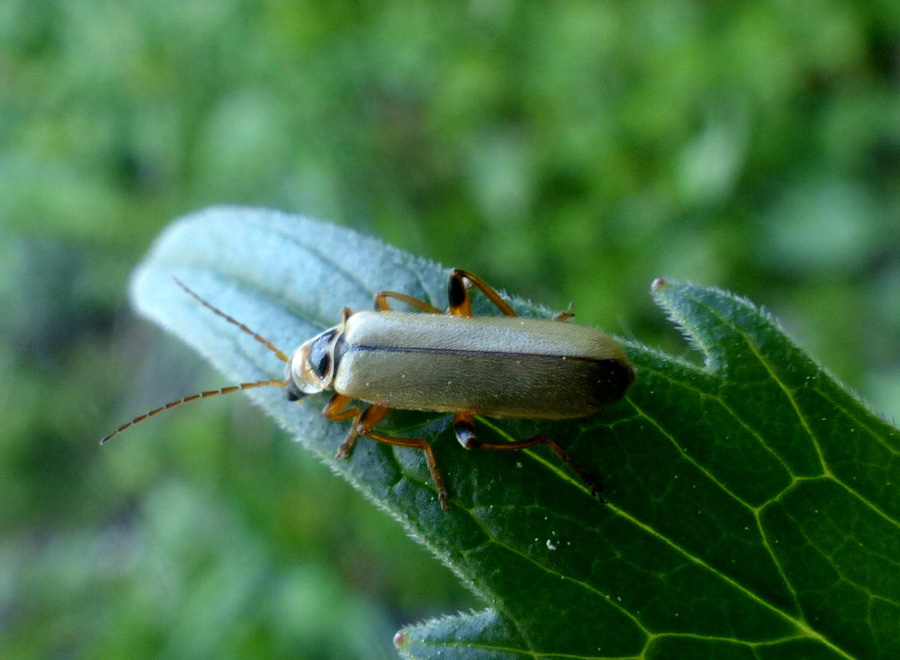 Cantharidae: Cantharis nigricans M�ller, 1766