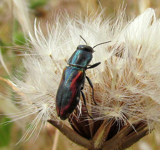 Buprestidae: Anthaxia lucens ssp. lucens K�ster, 1852