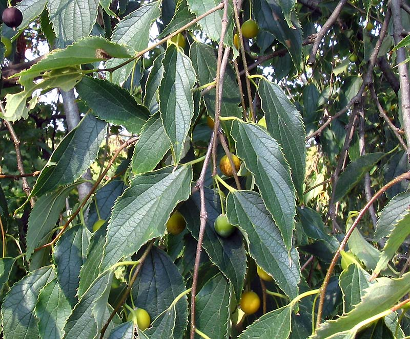 Celtis occidentalis-occidentale zürgelbaum-pianta