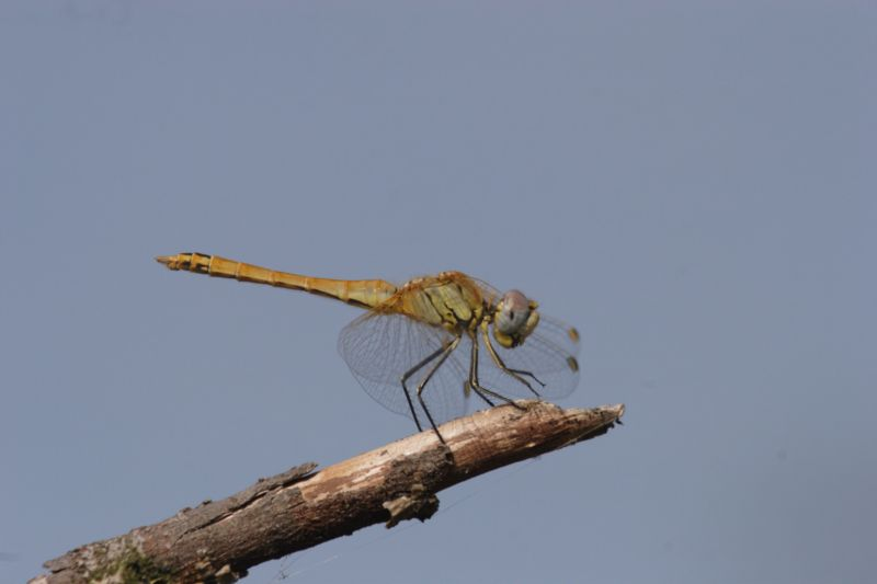 Libellulidae: Sympetrum fonscolombii (S�lys-Longchamps, 1840)