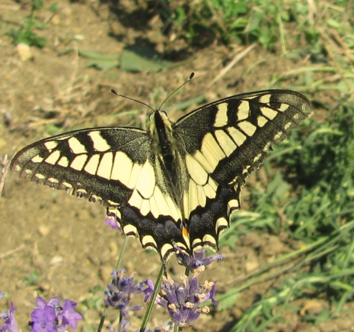 Papilio machaon ( Linnaeus, 1758)