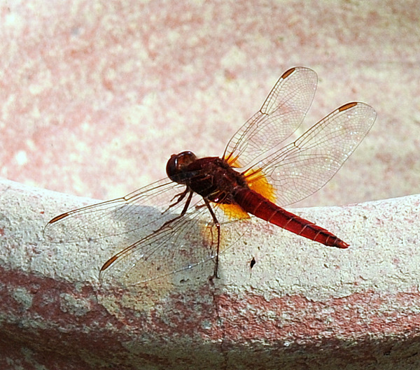 Libellulidae: Trithemis annulata (Palisot de Beauvois, 1807)