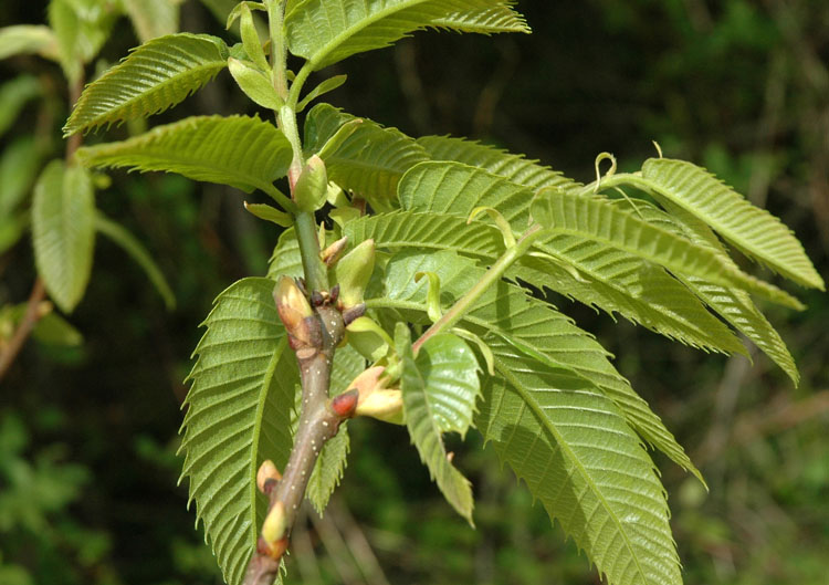 Castanea sativa Mill. 3.JPG
