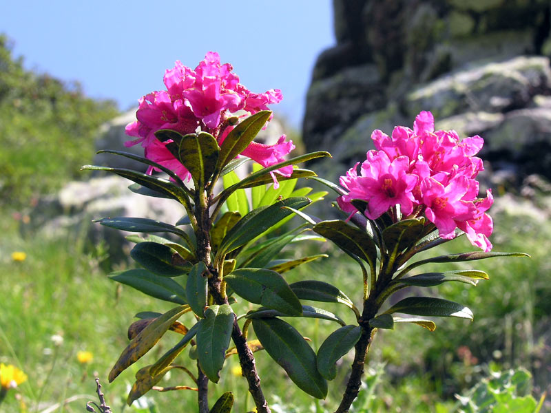 an analysis of the topic of the plant rhododendron Browse plant biology news, research and analysis from the conversation.